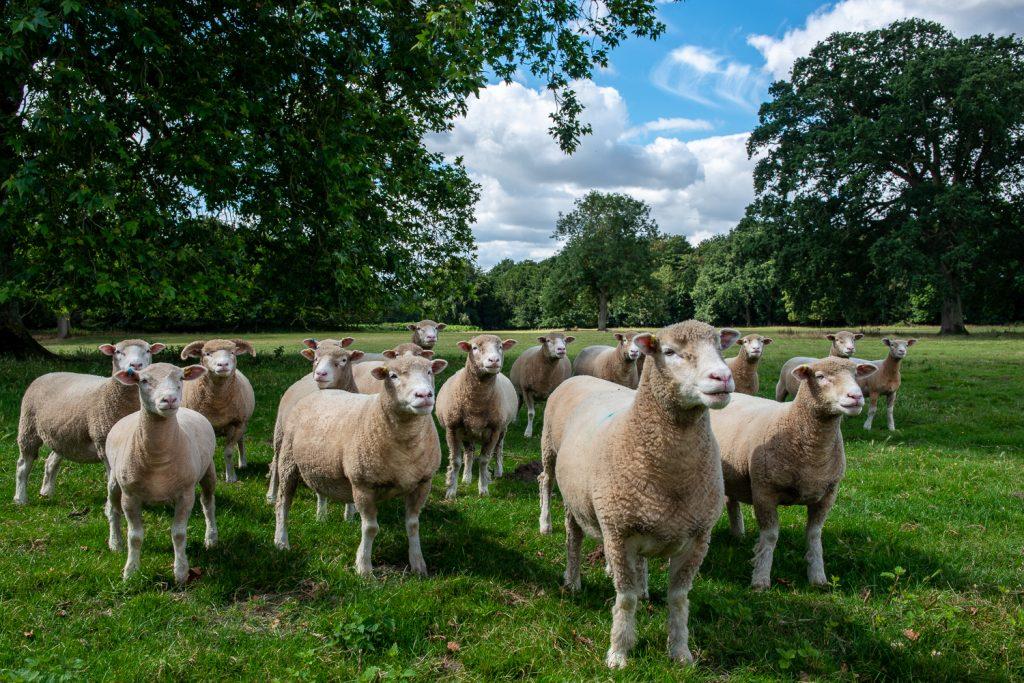 Free roaming sheep
